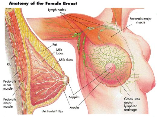 Boost Breast Health Female Diagram Natural Medicine Center Lakeland Central Florida